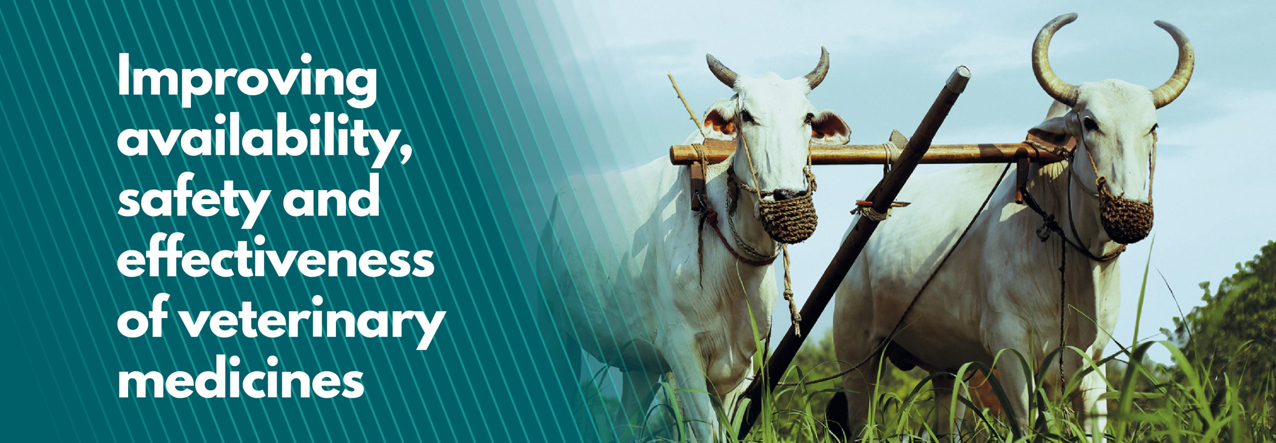Improving availability, safety and effectiveness of veterinary medicines